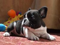 Amazing AKC French Bulldog girls! Great quality, unique