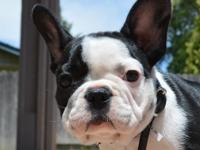 This beautiful French Bulldog puppy is available for
