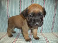 This beautiful apricot colored English Mastiff puppy is