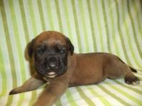 This English Mastiff puppy is nicknamed Prince. He was