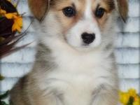 We have amazing and entertaining Pembroke Welsh Corgi