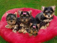 Amazing Baby Doll Faces T-Cup Yorkies . Text: (530)