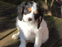 2 Beautiful Cavalier King Charles Spaniel Puppies - 1