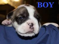 I have 1 male and 3 female English Bulldog pups
