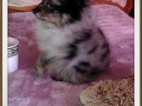 """Amazing exotic teacup blue merle pomeranian puppy""he"