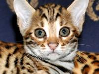 I have an AMAZING F2 BENGAL BOY KITTEN AVAILABLE. His