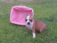 I have three stunning fawn/white CKC registered boston
