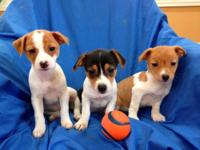 Amazing 8 week old, Jack Russell Terrier Puppies. These
