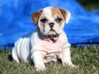 We have 3 amazing looking English bulldog Puppies, a