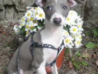 Purebred adorbs loving mini Italian greyhound boys