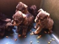 I HAVE 4 FEMALES AND 2 MALES SALT AND PEPPER PUPPIES