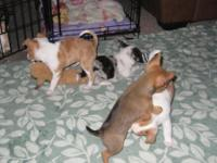 1 Chihuahua Young puppy left I have 1 blue eyed male
