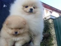 Stunning Purebred Pomeranian female puppies We're