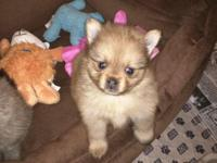 Amazing pomeranian puppies available. Male and female.