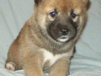 I have amazing male and female Shiba Inu puppies for