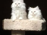 "Our Dearheart Persian kittycats will ""MELT"" your heart!"
