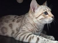 9 month old female snow Bengal is looking for an