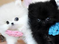 Amazing Teacup Pomeranian Puppies ready For Adoption.