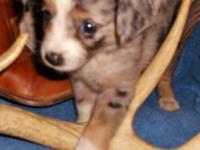 ASDR. Reg. Toy Australian Shepherd puppies: Female's