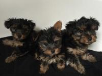 Amazing Tranied Yorkie Puppies I have 4 adorable AKC