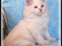 AMAZING CREAM LYNX POINT CFA REGISTERED HIMALAYAN MALE