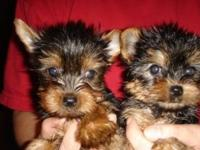 Awesome Yorkie puppies available. AKC limited