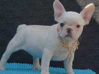Amazing French Bulldog Puppies,we have available. They