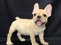 Amazing French Bulldog Puppies.Their perfect triple