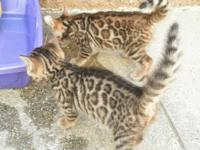 Rare and beautiful! Seal Lynx Snow Bengal Kitten with