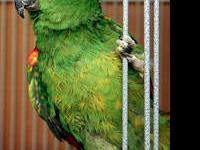 Amazon - Edo - Large - Adult - Male - Bird Sex: M Age: