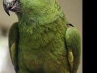Amazon - Goldie - Medium - Adult - Female - Bird All