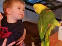 amazon parrot, double yellow head, 8 yrs old. talks,