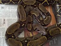 Amazon Tree Boa Garden Phase $50 -Yellow Nigerian