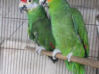 Medium big size, young, tame, parrot