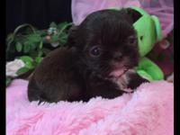 AKC registerable Shih Tzu young puppies. Mama is