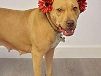 My story Amber is an awesome pit bull! This pretty lady