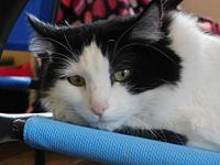 Ambrosia's story (This sweet cat will be available on