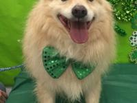 Amen is our neutered Pomeranian Collie mix. He is