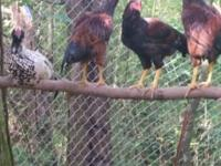 7 Ameracauna hybrid roosters for sale. All are part