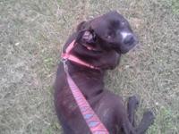 11 Month Old Black Reverse Brindle Female 50% Cane