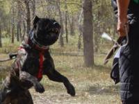 American Bandogge Mastiff Puppies For Sale. Miller's