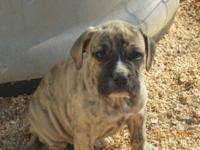 American Bandogge puppies for sale.  Champion