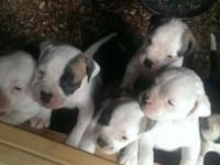 Dynamic Designs has an American Bandogge litter on