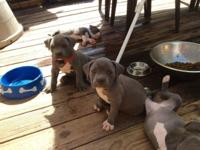 We have 8 pups 7 wks all blue 4 male and 4 female both
