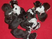 We merely had a litter of 10 stunning pitbull infants.