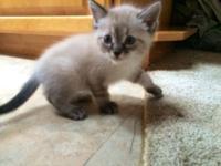 I have three 8 week old American bobtail kitties (the