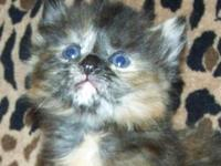 Two American Bobtail Kittens for sale. Miakoda