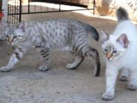 Stunning American Bobtail kittens, Champion lines, One