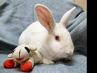 American - Brownie - Small - Adult - Male - Rabbit