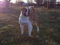 I have champion bloodline American bull dog pups ,